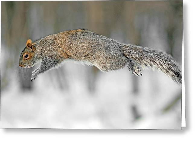 Sciurus Carolinensis Greeting Cards - The flying squirrel Greeting Card by Asbed Iskedjian
