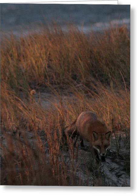 Long Island Photographs Greeting Cards - The Fox in the Dunes Greeting Card by Christopher Kirby