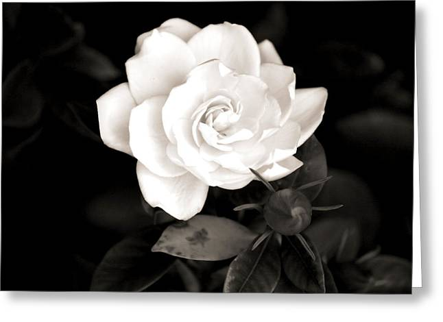 Gardenia Greeting Cards - The Gardenia Greeting Card by Karen M Scovill