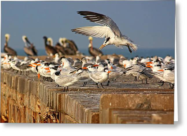 Tern Greeting Cards - The Gathering Greeting Card by HH Photography