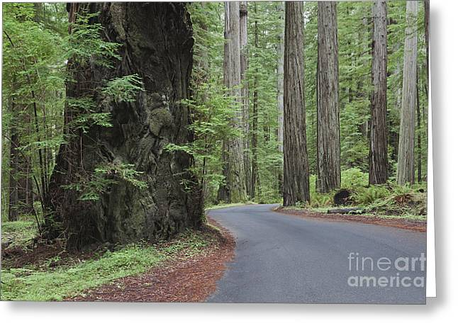 Thoroughfare Greeting Cards - The Giant Redwoods Trees In Humboldt Greeting Card by Douglas Orton