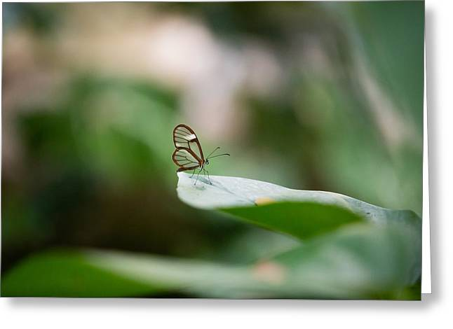 Invertebrates Greeting Cards - The Glasswing - Nymphalidae Transparent-winged Butterfly Greeting Card by Christy Cox