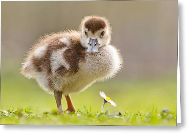 Cute Bird Greeting Cards - The Gosling and the Flower Greeting Card by Roeselien Raimond