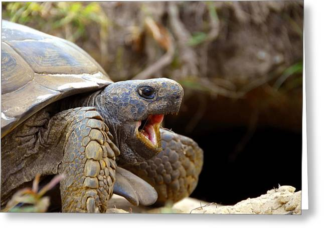 Florida Wildlife Greeting Cards - The great Gopher Tortoise Greeting Card by David Lee Thompson