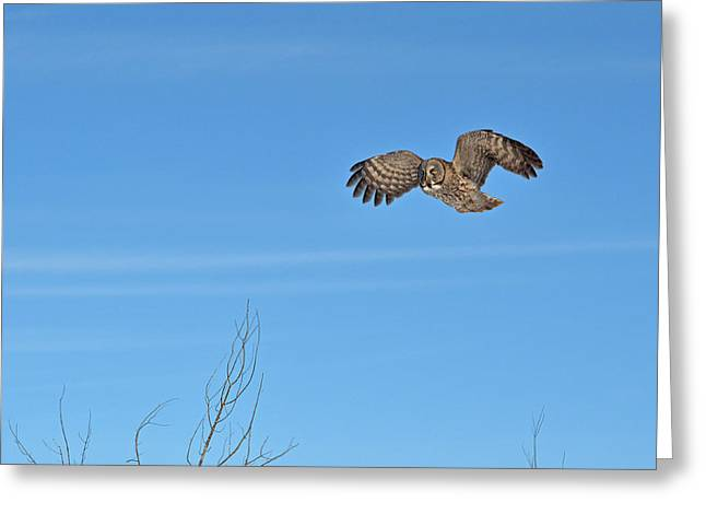 Saw Greeting Cards - The Great Gray Owl in-flight Greeting Card by Asbed Iskedjian