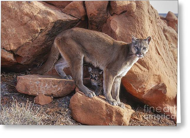Puma Concolor Greeting Cards - The Guardian Greeting Card by Sandra Bronstein
