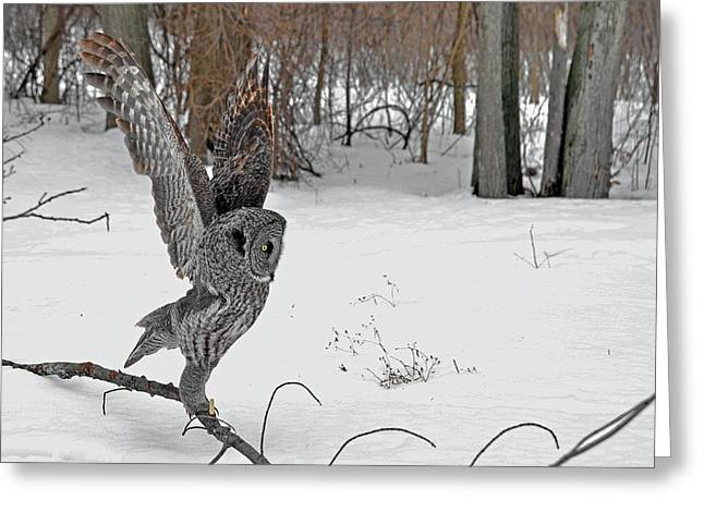 Hunting Bird Greeting Cards - The Gymnast Great Gray Owl Greeting Card by Asbed Iskedjian
