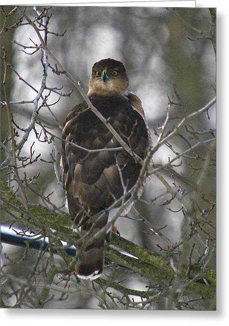 Wild Bird Mixed Media Greeting Cards - The hawks have eyes Greeting Card by Robert Pearson