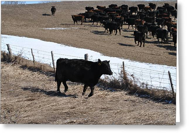 Cattle Run Greeting Cards - The Herd and Attempted Escapee Greeting Card by Lisa Young