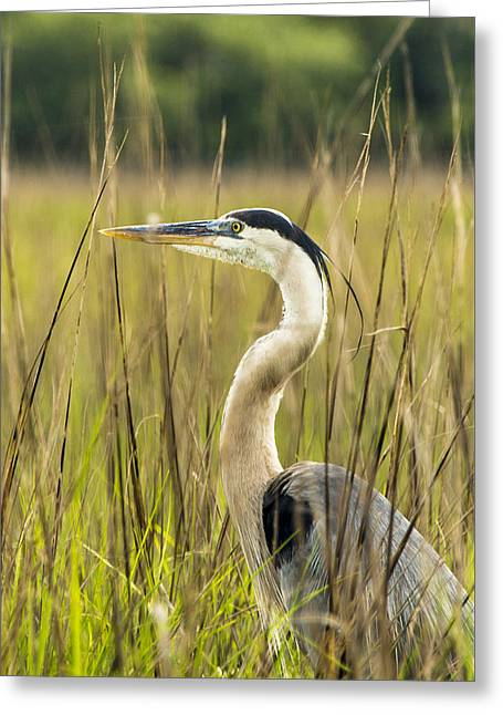 Artist Photographs Greeting Cards - The Heron in the Marsh Greeting Card by Paula Porterfield-Izzo