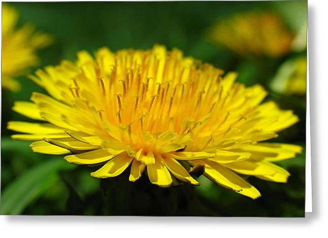 Carpel Greeting Cards - The Humbled Dandelion Greeting Card by Juergen Roth