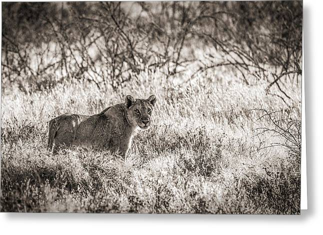 Etosha Greeting Cards - The Huntress Greeting Card by Duane Miller