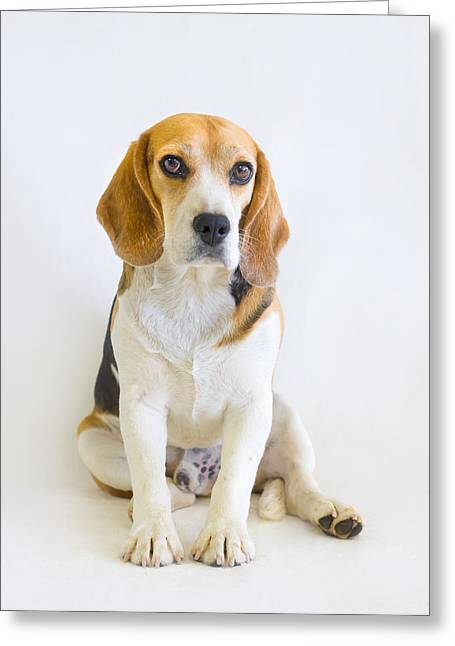 Puppies Photographs Greeting Cards - The Judge - Animal Rescue Beagle Portrait Greeting Card by Andrea Borden
