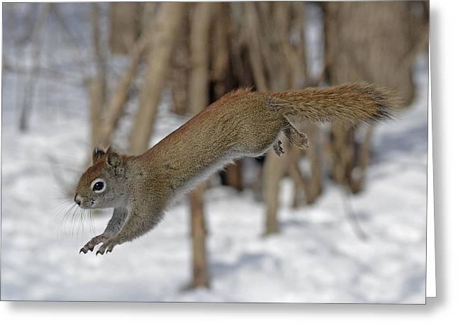 Sciurus Carolinensis Greeting Cards - The Jumping American Red Squirrel Greeting Card by Asbed Iskedjian