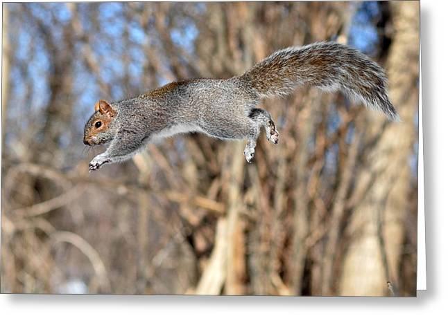 Sciurus Carolinensis Greeting Cards - The jumping squirrel Greeting Card by Asbed Iskedjian