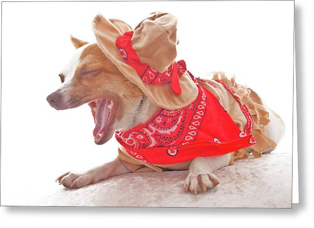 Cowboy Outfit Greeting Cards - The laughing Chihuahua dog cowboy on white Greeting Card by Barbara Kelley