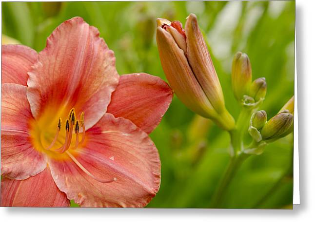 Day Lilly Greeting Cards - The Lilly or the Bud Greeting Card by Kathy Paynter