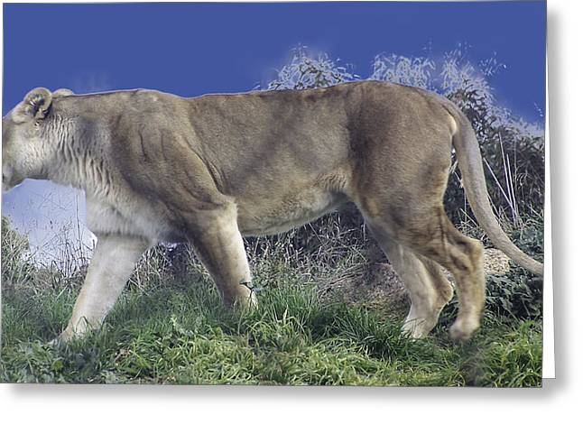 Lions Greeting Cards - The Lion Dont Sleep Tonight  Greeting Card by Michael  Podesta