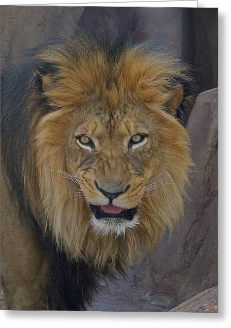Wildcats Greeting Cards - The Lion Dry Brushed Greeting Card by Ernie Echols