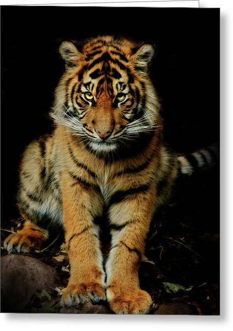 Tigers Greeting Cards - The Look Greeting Card by Animus Photography