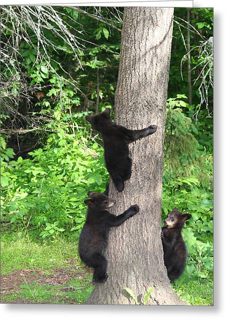Black Bear Cubs Greeting Cards - The Lookout Greeting Card by Gerry Sibell