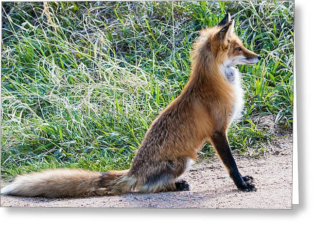 Red Fox Greeting Cards - The Lookout Greeting Card by Mindy Musick King