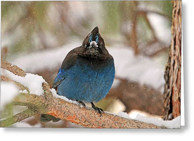 Canon 7d Greeting Cards - The Mad Blue Jay Greeting Card by Donna Kennedy