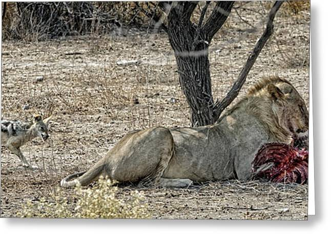 Lions Photographs Greeting Cards - The Meal Greeting Card by Piet Flour