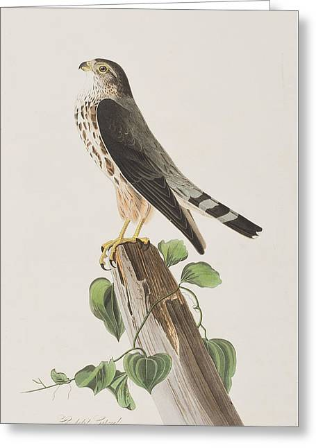 Falcons Greeting Cards - The Merlin Greeting Card by John James Audubon