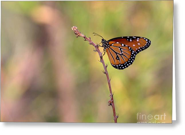 Ruth Jolly Greeting Cards - The Monarch Poses Greeting Card by Ruth Jolly