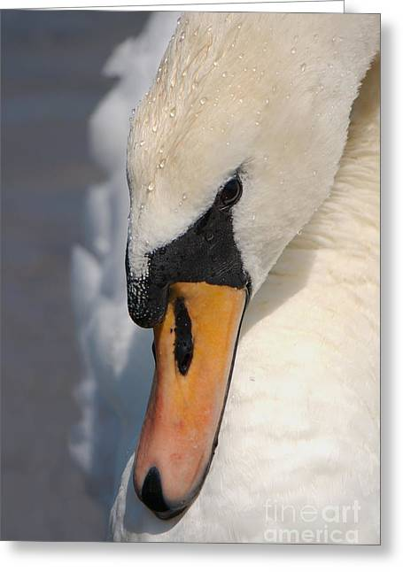 Swans... Greeting Cards - The Mute Swan Greeting Card by Mickey At Rawshutterbug