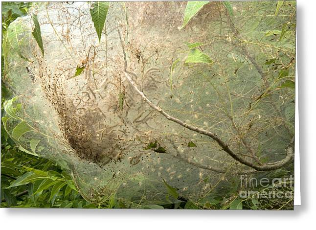 Moth-web Greeting Cards - The Nesting Web Of The Tent Caterpillar Greeting Card by Inga Spence