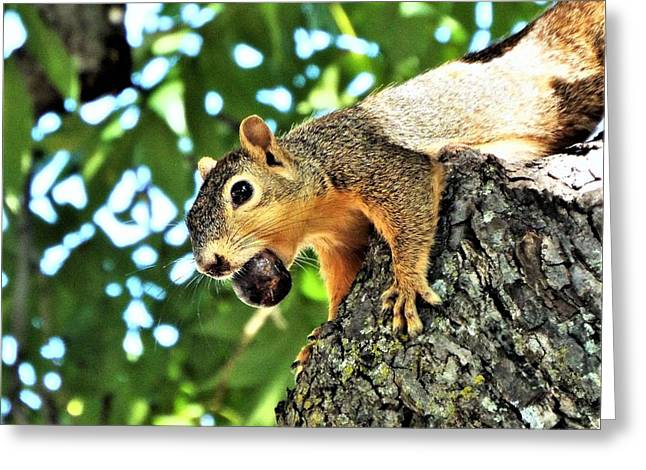Eastern Fox Squirrel Greeting Cards - The Nutcracker Greeting Card by Michael Dillon