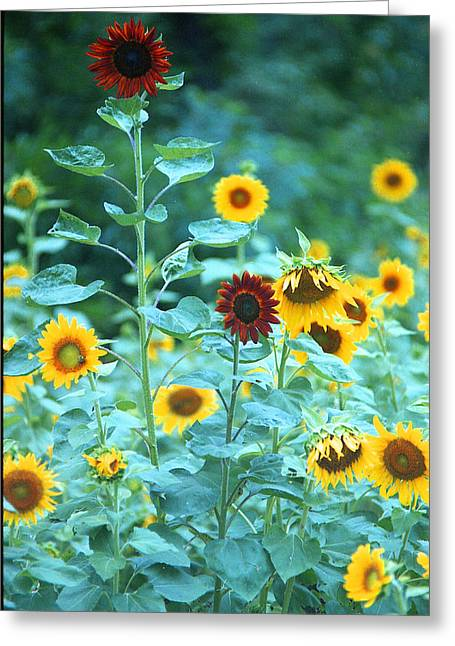 Sunflower Patch Greeting Cards - The Oddballs Greeting Card by Steven Hewett