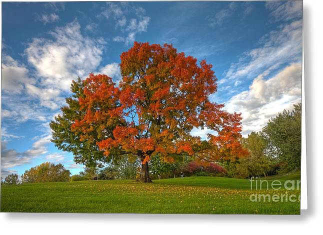 Quebec Scenes Greeting Cards - The old maple Greeting Card by Mircea Costina Photography