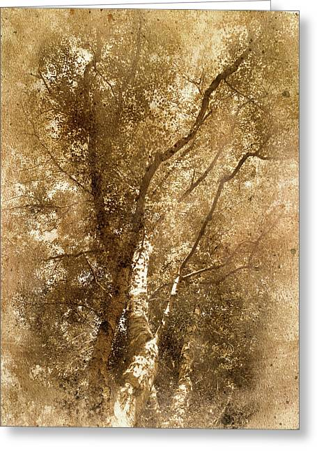 The Old Silver Birch Greeting Card by The Rambler