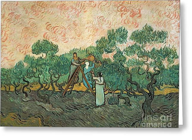 Impressionist Greeting Cards - The Olive Pickers Greeting Card by Vincent van Gogh