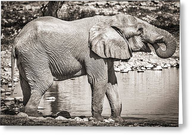Etosha Greeting Cards - The Pause That Refreshes Greeting Card by Duane Miller
