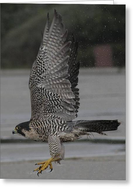 The Peregrine Falcon Greeting Card by Christopher Kirby