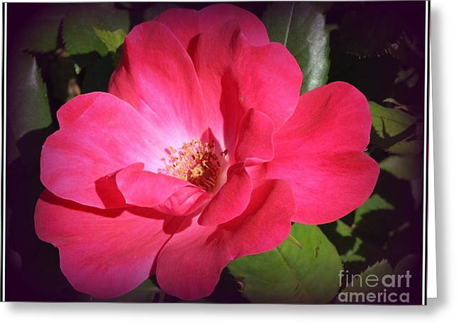 Rose Petals Greeting Cards - The Pink Rose of Summer Greeting Card by  Photographic Art and Design by Dora Sofia Caputo