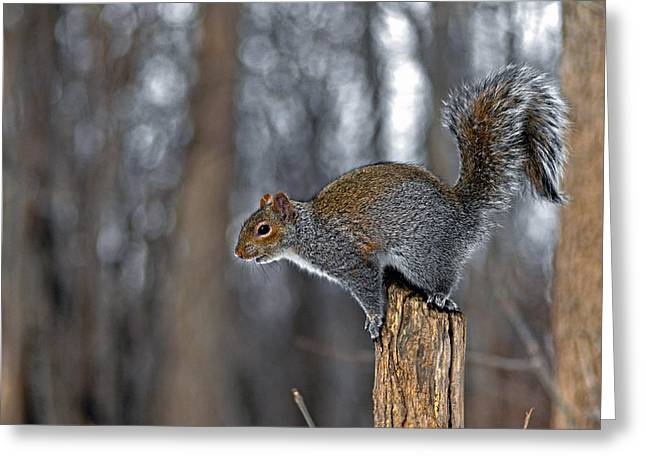 Flying Animal Greeting Cards - The plump Squirrel Greeting Card by Asbed Iskedjian