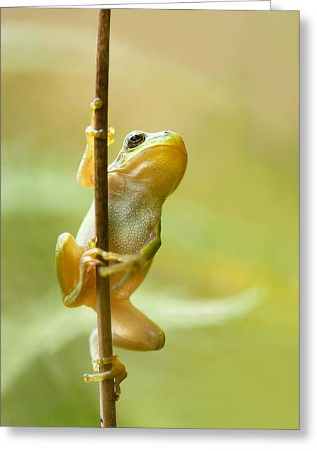 Tree Frogs Greeting Cards - The Pole Dancer - Climbing Tree frog  Greeting Card by Roeselien Raimond