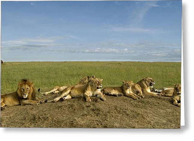 Lioness Greeting Cards - The Pride Greeting Card by Chris Minihane