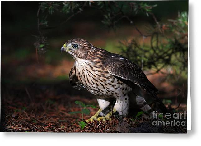 Sharp Claws Greeting Cards - The Raptor Greeting Card by Mircea Costina Photography