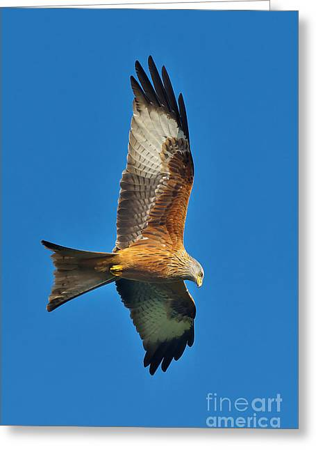 Kite Greeting Cards - The Red Kite - Milvus Milvus Greeting Card by Martyn Arnold
