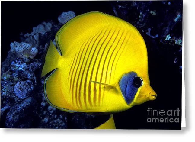 Chaetodon Semilarvatus Greeting Cards - The Red Sea butterflyfish Greeting Card by Dave Fleetham - Printscapes