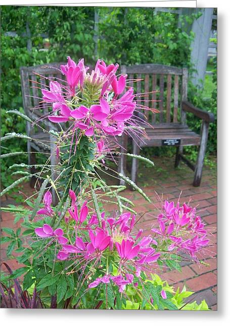 Cleome Flower Greeting Cards - The Rest Greeting Card by Ruth Koob