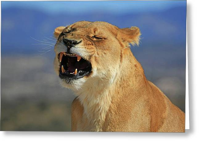 The Roar Greeting Card by Donna Kennedy