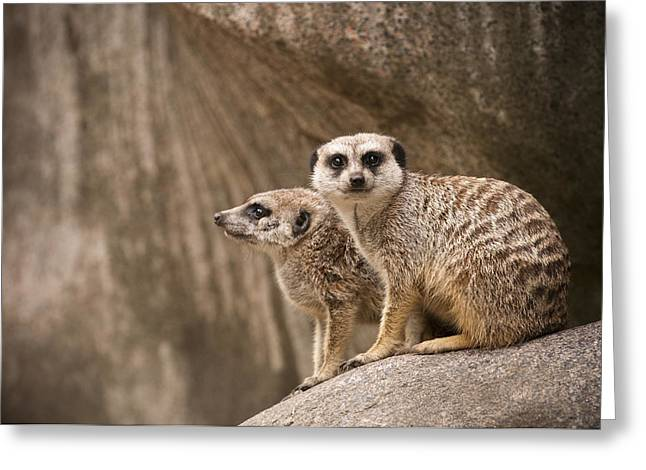 The Rock Of Meerkats Greeting Card by Chad Davis