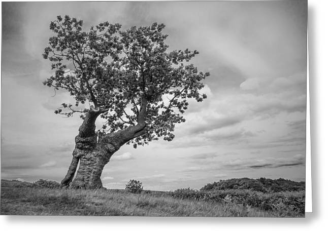 Gnarly Greeting Cards - The single Oak Greeting Card by Nick Bywater